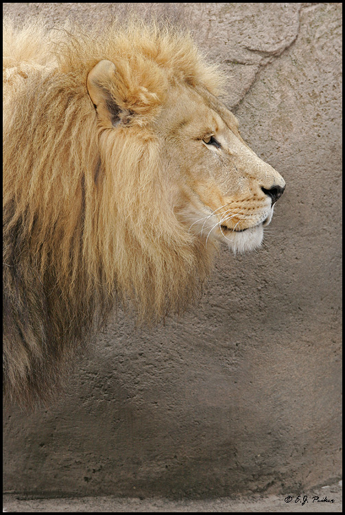 African Lion (c), Chicago, IL