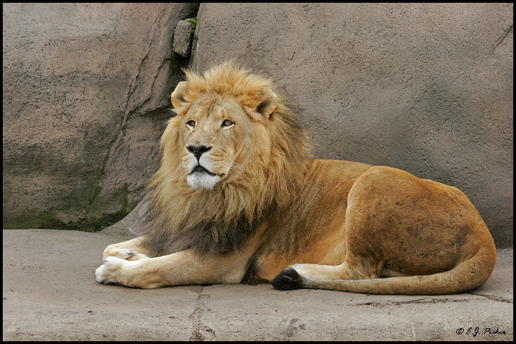 African Lion, Chicago, IL