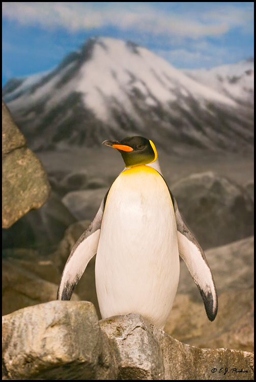 King Penguin, Chicago, IL