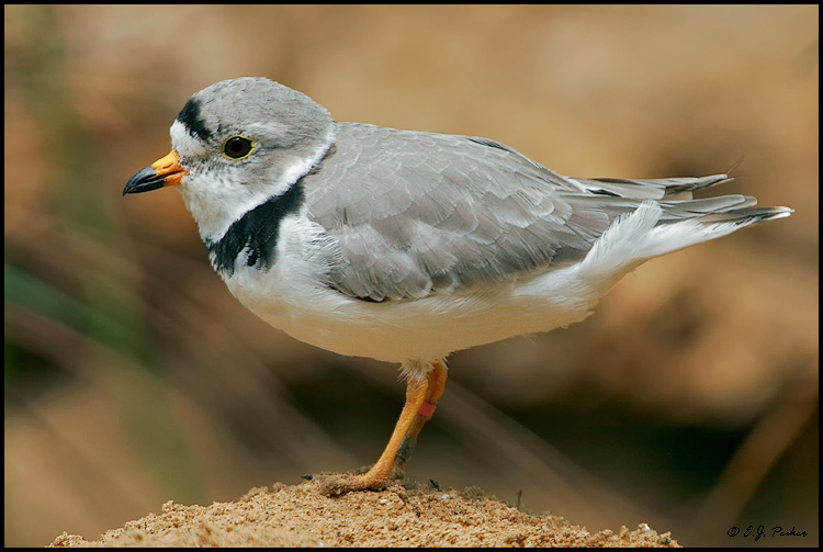 Piping Plover, Chicago, IL