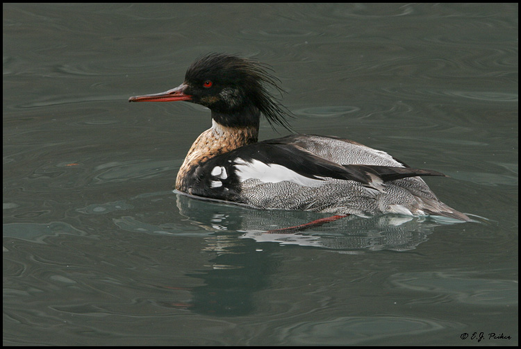 Red-breasted Merganser, Chicago, IL
