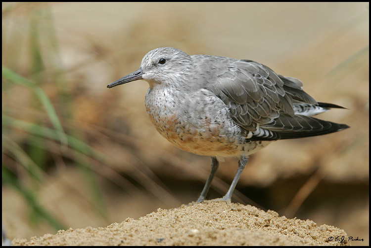 Red Knot, Chicago, IL