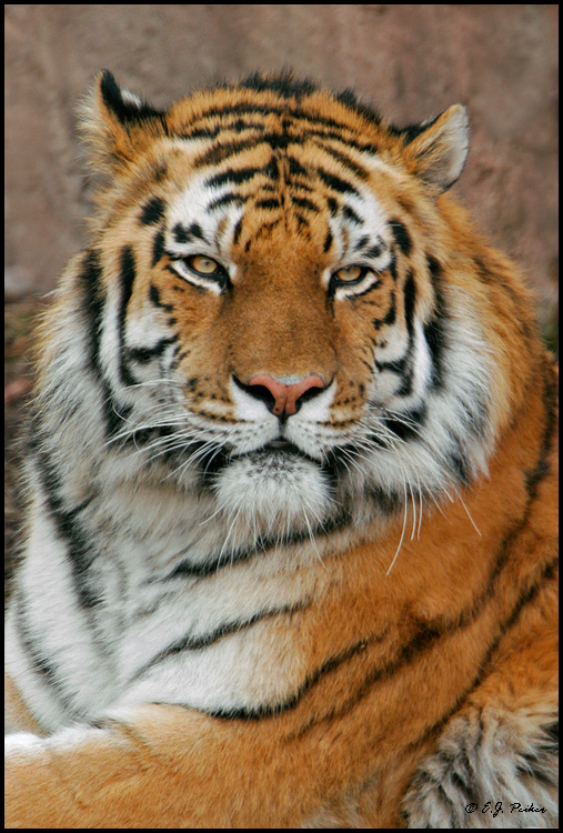 Siberian Tiger Picture Picture Of A Siberian Tiger | Auto Design Tech