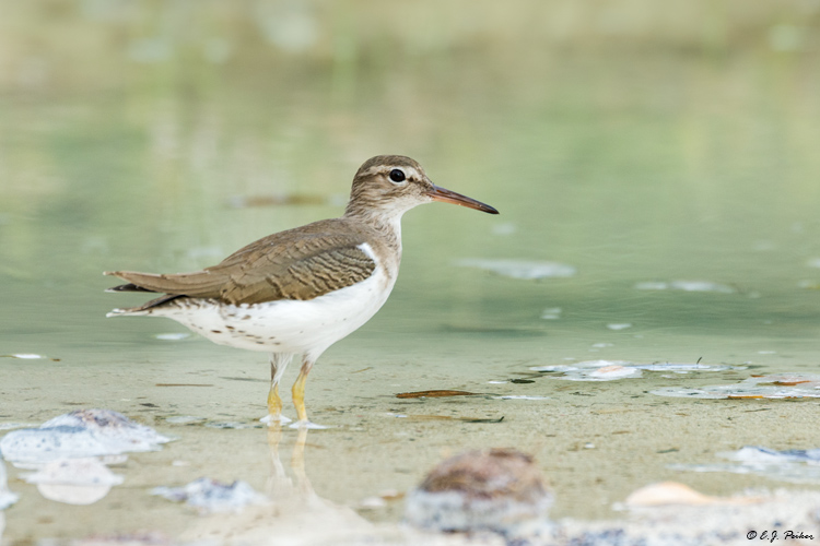 Spotted Sandpiper, Jamaica