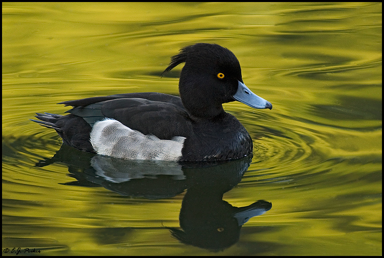Tufted Duck, Tokyo, Japan