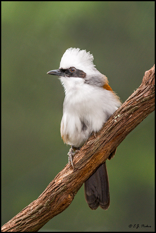 White-crested Laughingthrush, LA