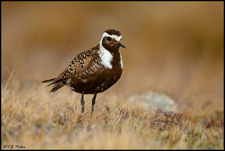 American Golden Plover, Churchill, MB