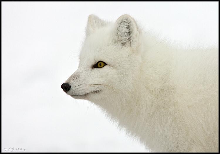 MB_ArcticFox02.jpg