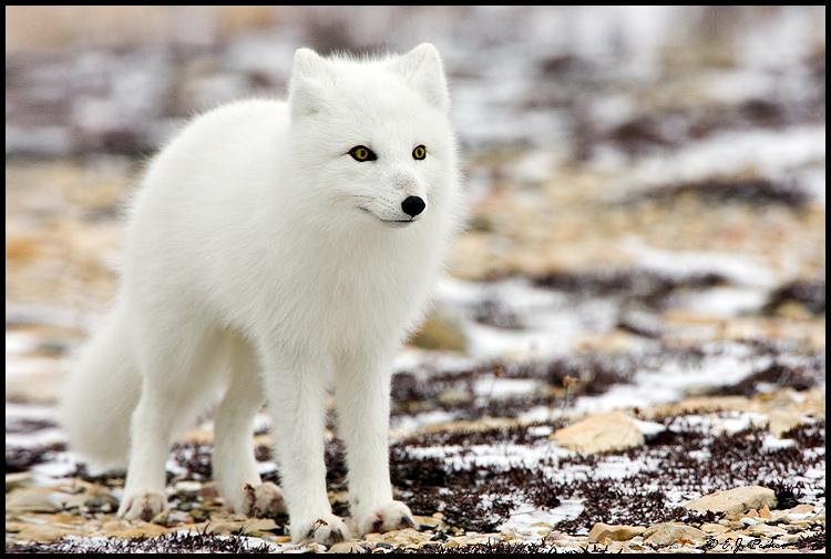MB_ArcticFox04.jpg