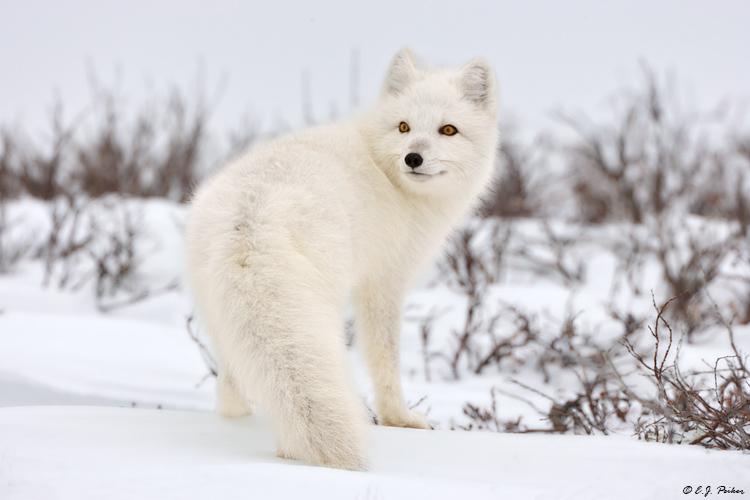 MB_ArcticFox08.jpg