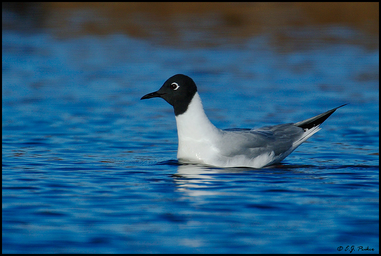 Bonaparte's Gull, Churchill, MB