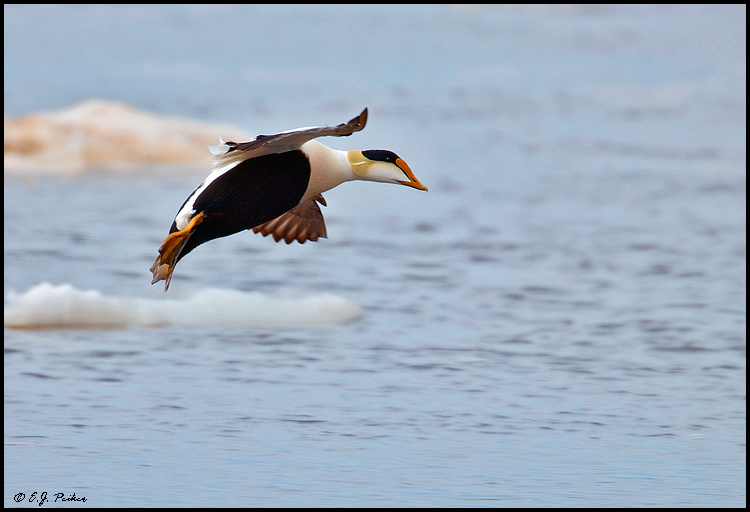 Common Eider, Churchill, MB