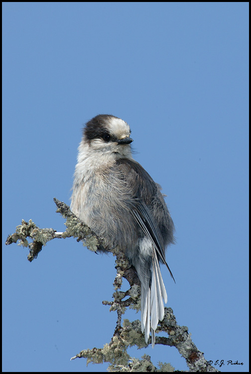 Gray Jay, Churchill, MB