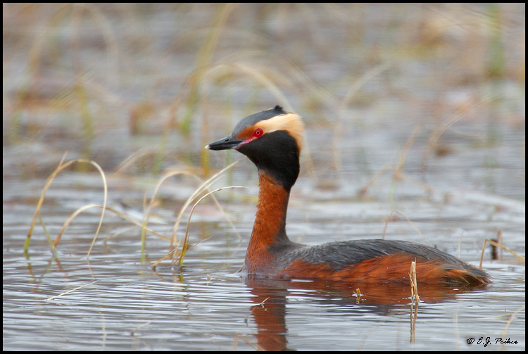 Horned Grebe, Churchill, MB