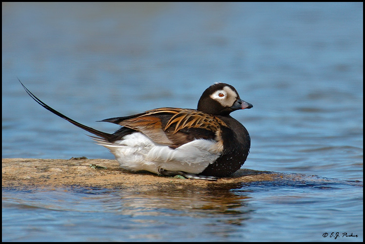 Long-tailed Duck, Churchill, MB
