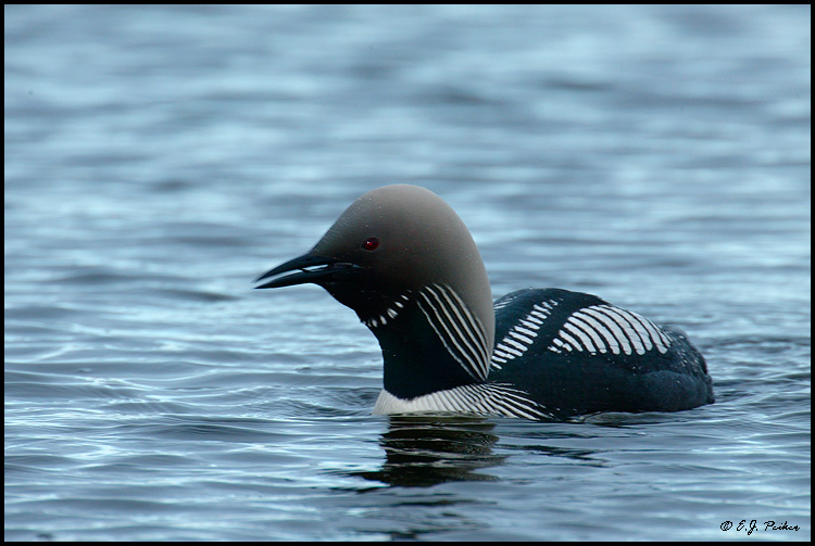 Pacific Loon, Churchill, MB