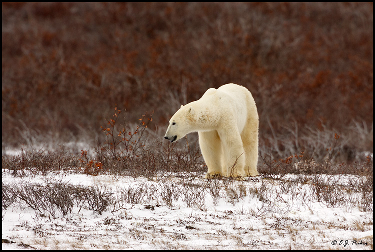 Polar Bear, Churchill, MB