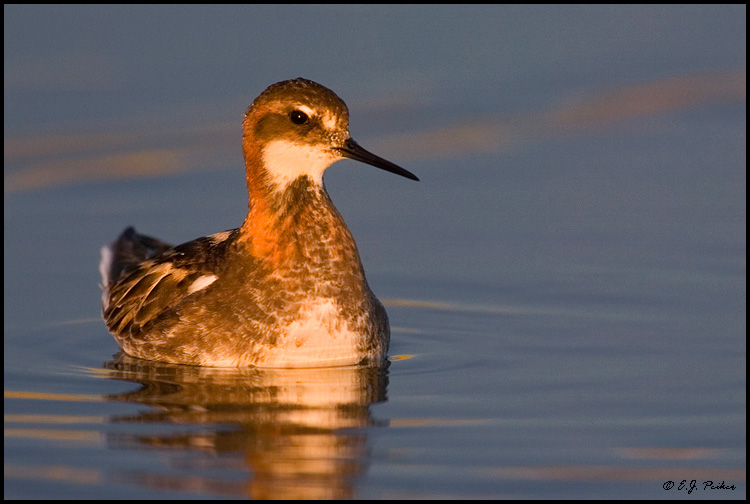 Red-necked Phalarope, Churchill, MB