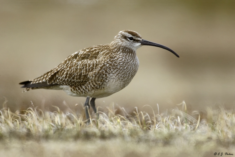 Whimbrel, Churchill, Manitoba