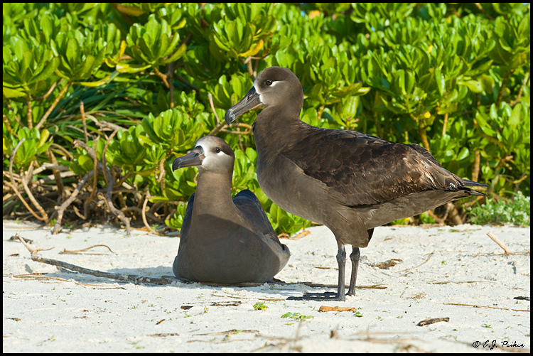 Black-footed Albatross, Midway Atoll