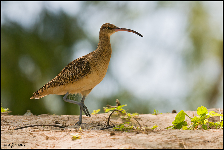 Bristle-thighed Curlew, Midway Atoll