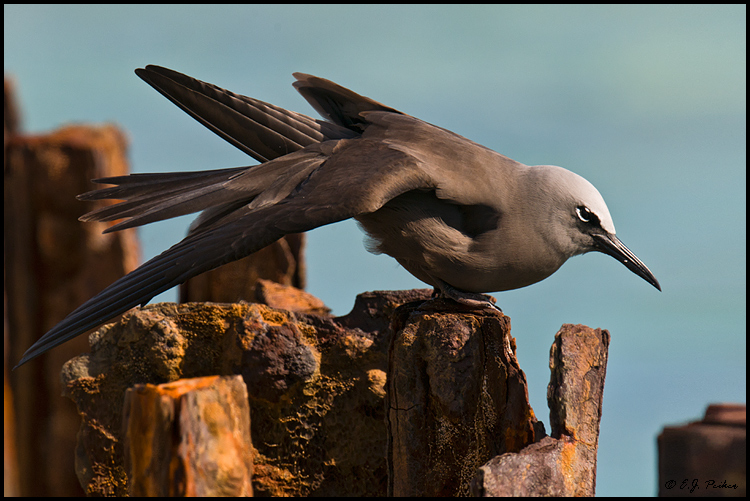 Brown Noddy, Midway Atoll