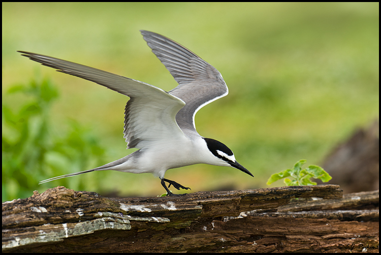 Gray-backed Tern, Midway Atoll