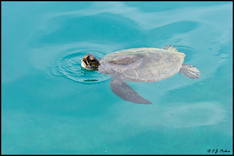 Green Sea Turtle, Midway Atoll