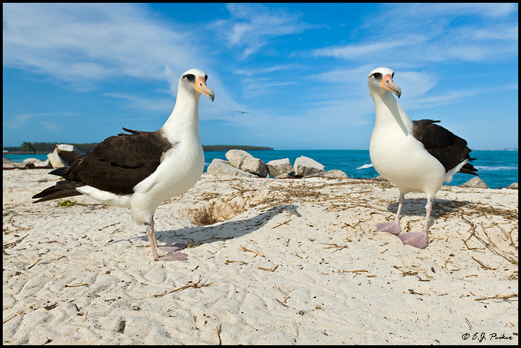 Layson Albatross, Midway Atoll