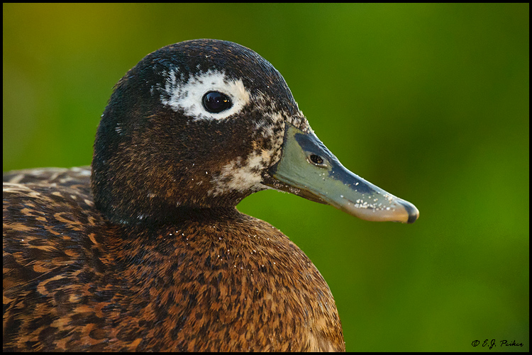 Laysan Duck, Midway Atoll