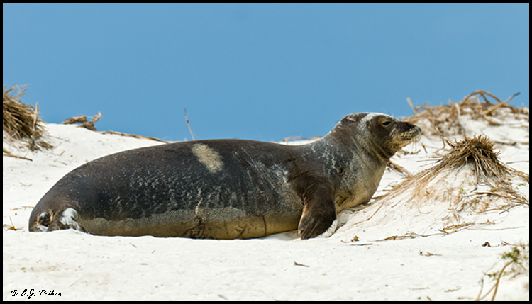 Monk Seal, Midway Atoll