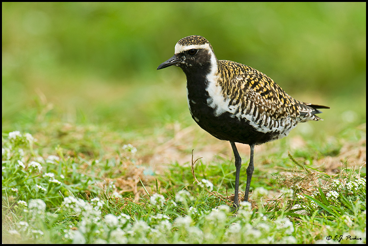 Pacific Golden Plover, Midway Atoll