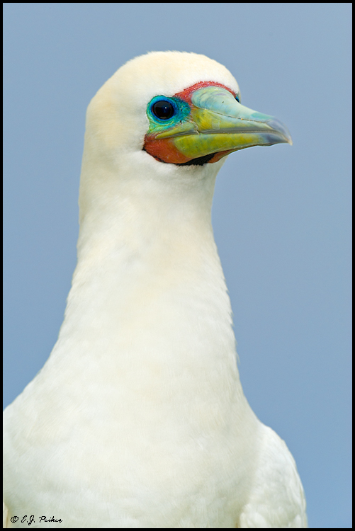 Red-footed Booby, Midway Atoll