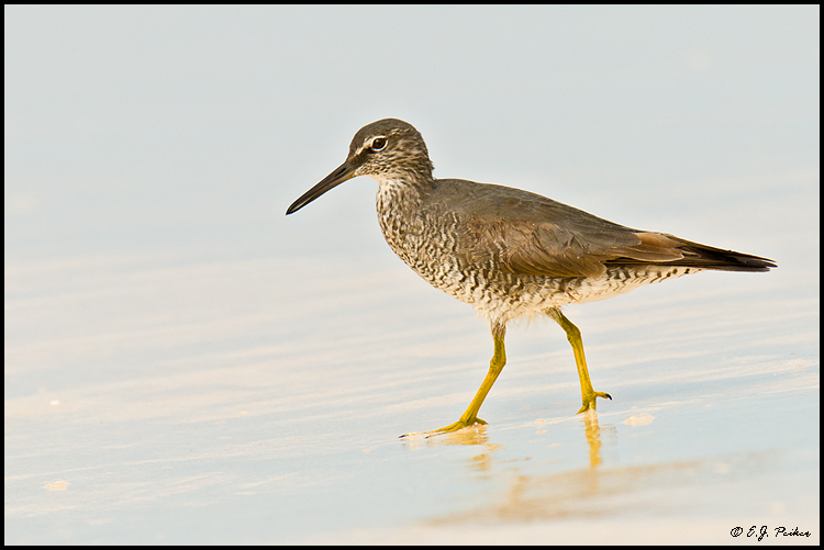 Wandering Tattler,Midway Atoll