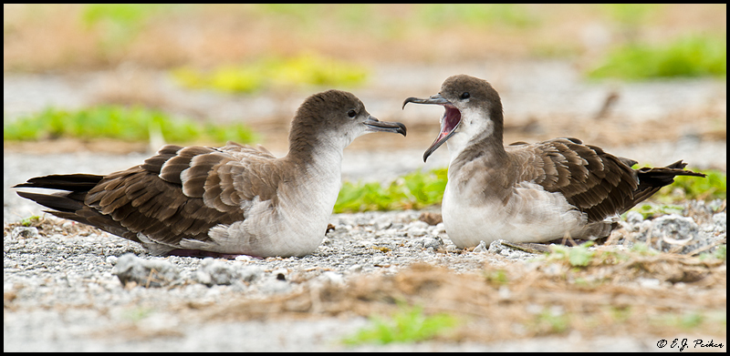 Wedge-tailed Shearwater, Midway Atoll