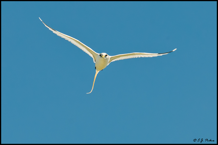 White-tailed Tropicbirdl, Midway Atoll