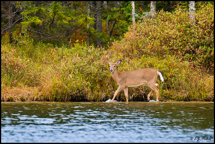 White-tailed Deer, Baxter SP, ME