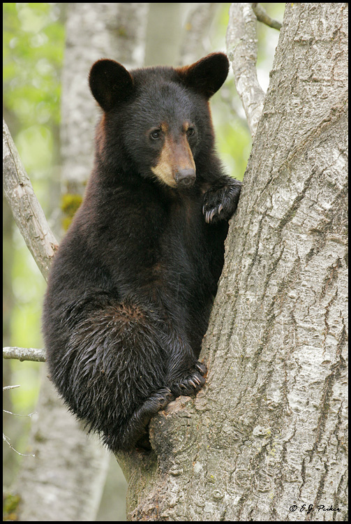 Black Bear, Orr, MN