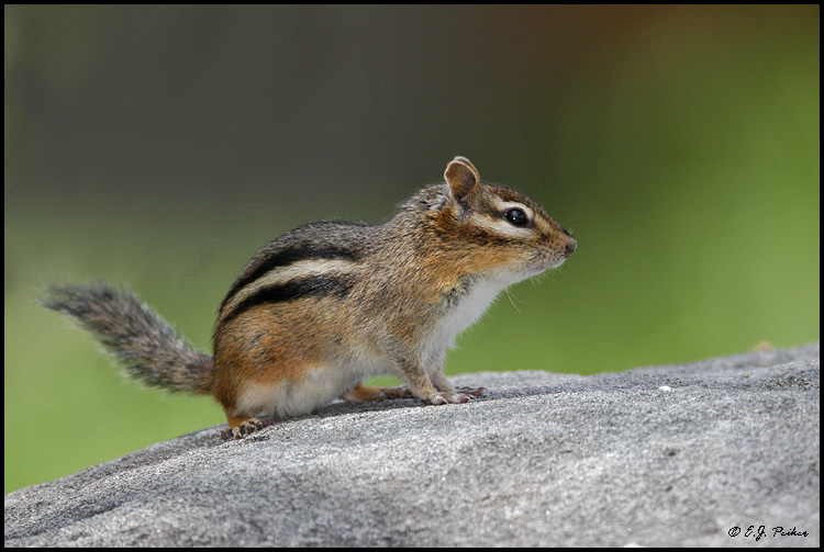 Eastern Chipmunk, Orr, MN