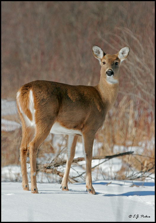 White-tailed Deer, Minnesota