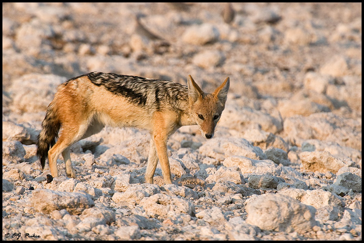 Black-backed Jackal, Namibia