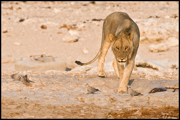 African Lion, Namibia