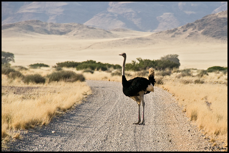 Ostrich, Namibia