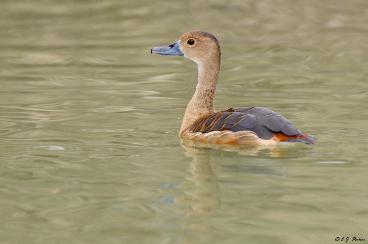 Lesser whistling duck - photo#22