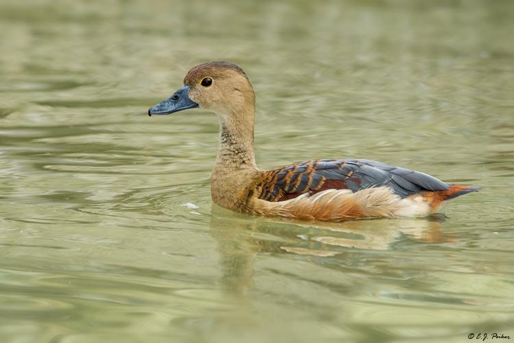 Lesser whistling duck - photo#23