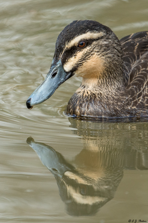 Pacific Black Duck (Gray Duck)