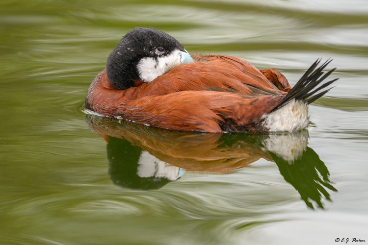 Ruddy Duck, Scotland Neck, NC