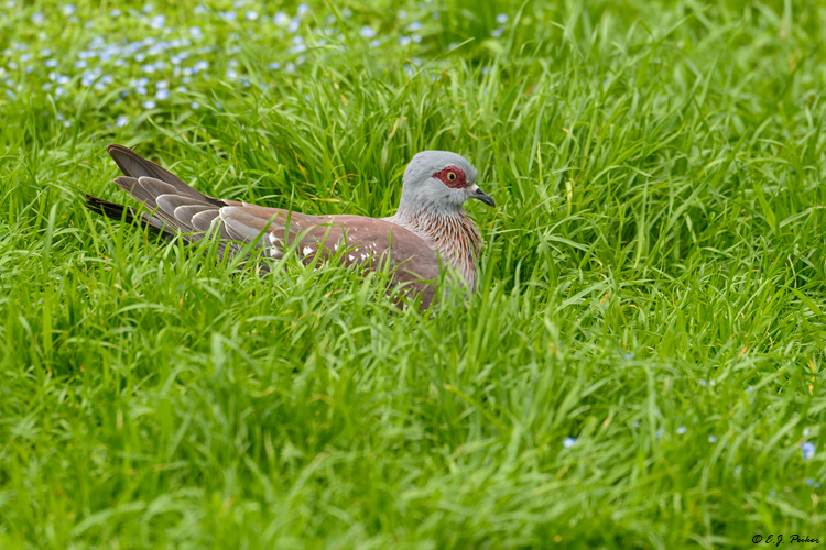 Triangular-spotted Pigeon