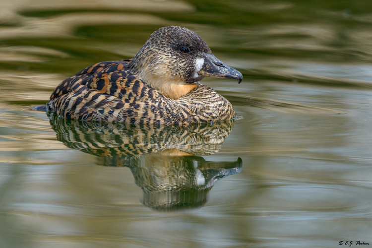 White-backed Duck