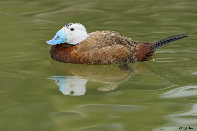 White-headed Duck